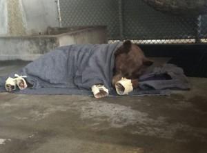 Deze bruine beer werd het slachtoffer van de apocalyptische Thomas Fire in California. Dierenartsen hebben zijn wonden geheeld en na herstel mag hij weer los (bron: via Ed Joyce).