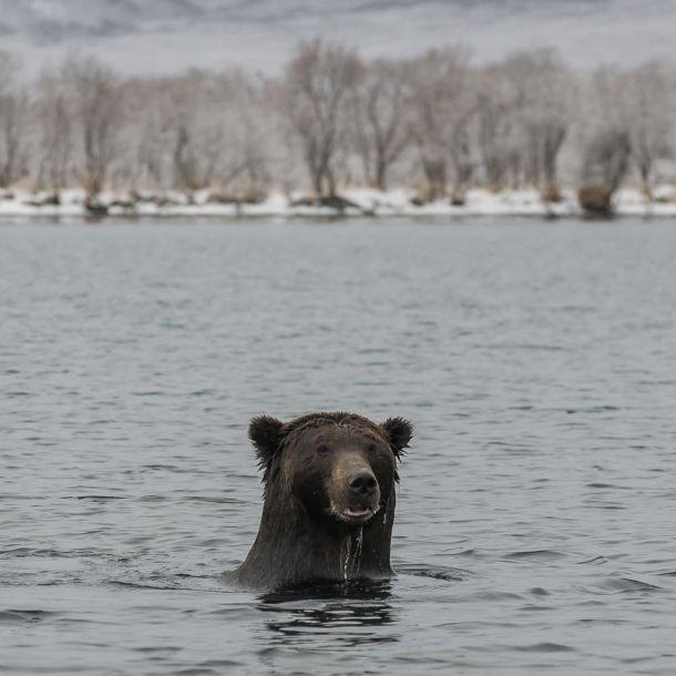 """""""Als ze me misse, dan ben ik visse"""". Deze berenfoto is van eind november op het Russische schiereiland Kamchatka (bron: Liana Varavskaya)."""