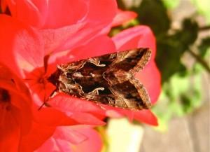 Het gamma-uiltje: een nachtvlinder die ook overdag actief is (bron: Elly van Niekerk).