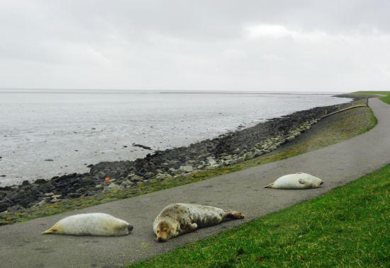 Moeder zeehond en haar kroost op het fietspad
