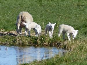 Lammetjes in de wei (bron: Wytske Heida).