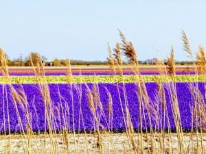 Hyacintenveld bij Julianadorp (bron: Els Dekker-Vlaar).