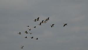 Ganzen in de lucht boven Ridderkerk gistermiddag (bron: Gert de Bruijn).